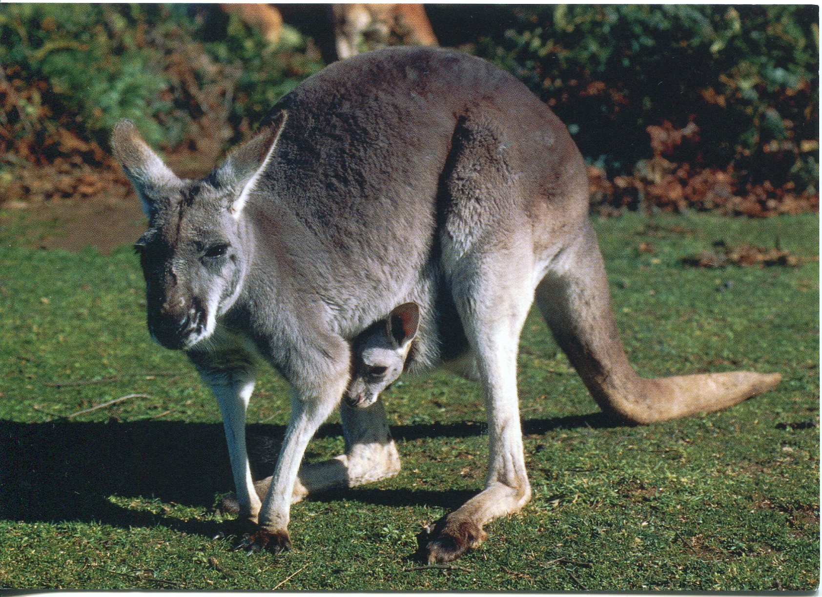 kangaroos essay In 2010, australia was home to just 27 million kangaroos  according to an  essay from the gallo-roman museum at tongeren in belgium, the  dodecahedron.