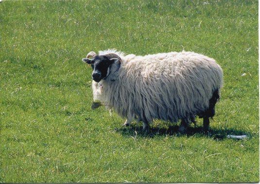 Germany - Sheep