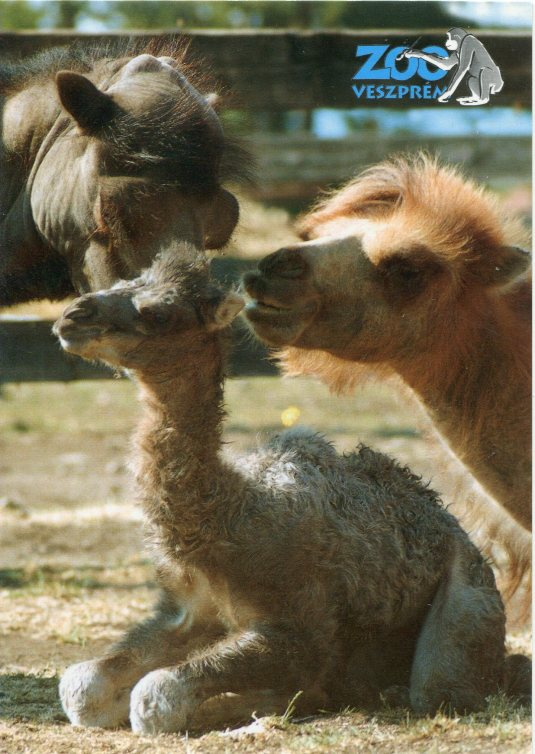 Hungary - Camel mom and baby