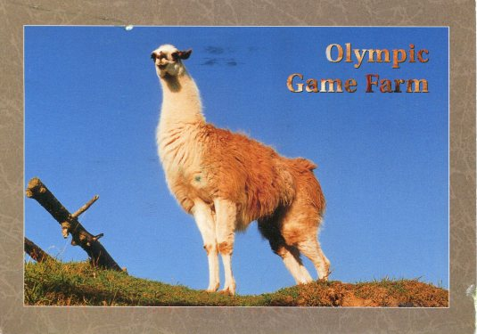 USA - Olympic Game Farm Llama