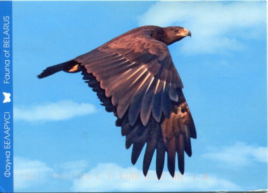 Belarus - Greater Spotted Eagle