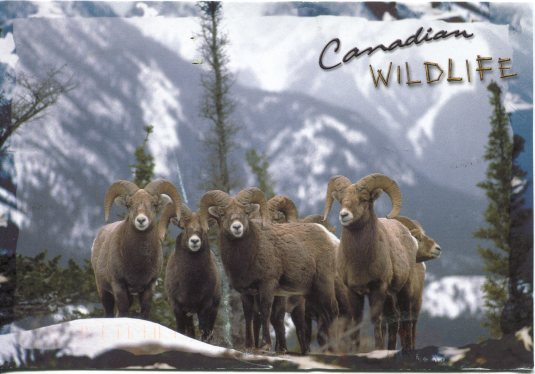 Canada - Big Horn Sheep