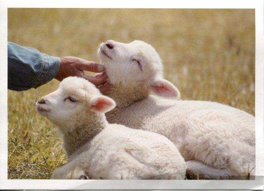 China - Lambs