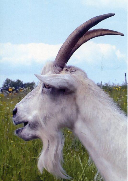 Ukraine - Goat