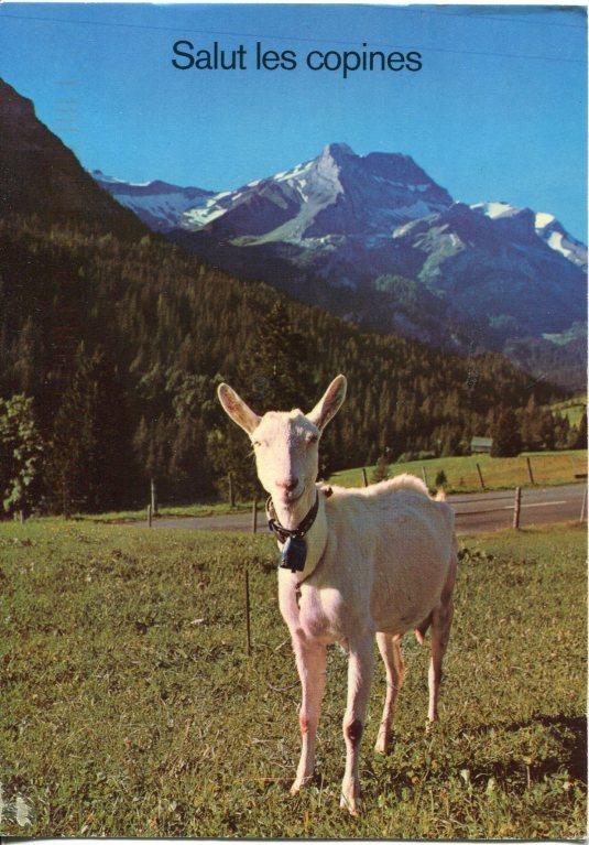 France - Goat Saanen