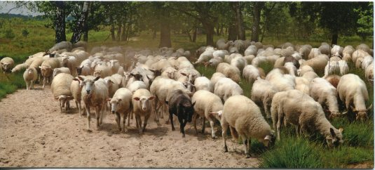 Netherlands - Flock of Sheep