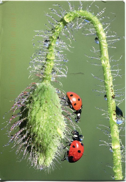 Ukraine - Lady Bugs