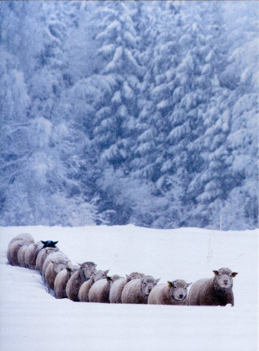 Estonia - Sheep in Winter