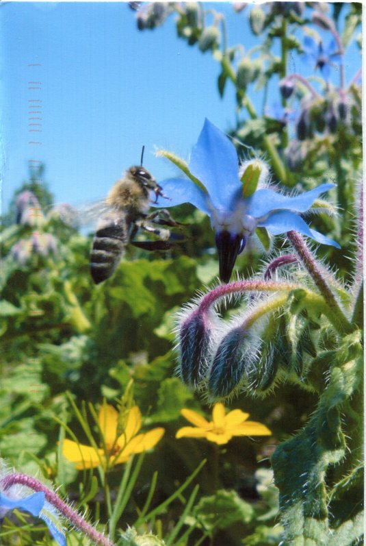 USA - Oregon - Borage and Bee
