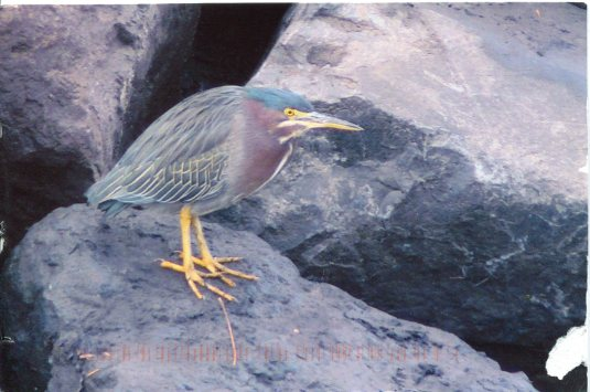 USA - Oregon - Green Heron