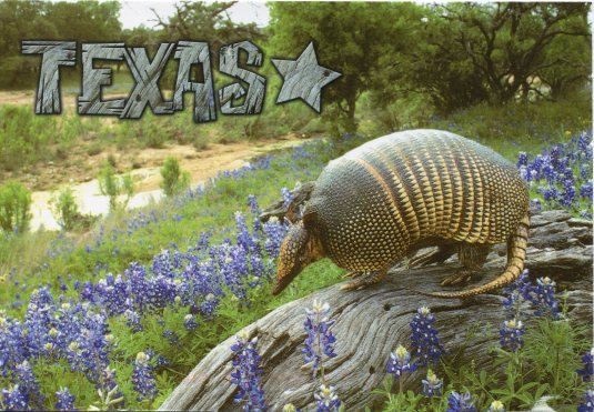 USA - Texas - Armadillo and Bluebonnets