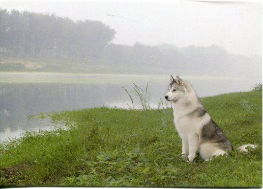 Finland - Siberian Husky