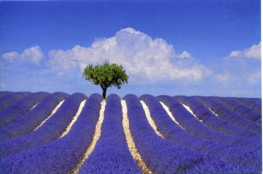 France - Lavender Fields Almond Tree