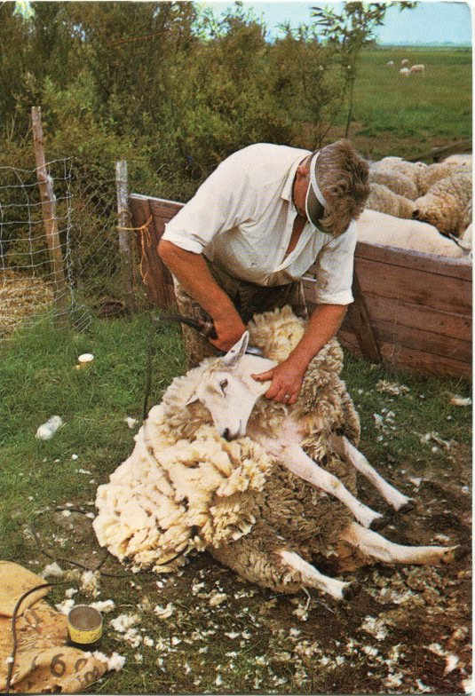 Netherlands - Sheep shearing