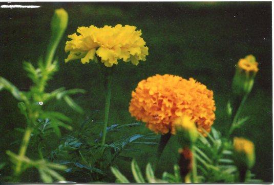 Thailand - Marigolds
