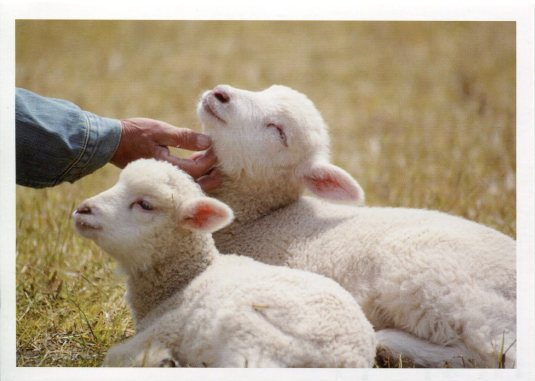 Belgium - Lambs